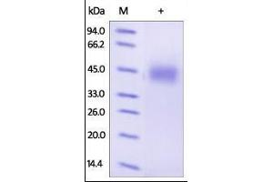 SDS-PAGE (SDS) image for Growth Hormone Receptor (GHR) (AA 27-264) (Active) protein (His tag) (ABIN2181159)