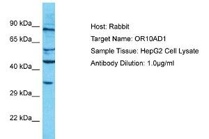 Image no. 1 for anti-Olfactory Receptor, Family 10, Subfamily AD, Member 1 (OR10AD1) (C-Term) antibody (ABIN2791810)