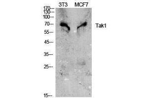 Image no. 1 for anti-Nuclear Receptor Subfamily 2, Group C, Member 2 (NR2C2) (Tyr142) antibody (ABIN3187165)