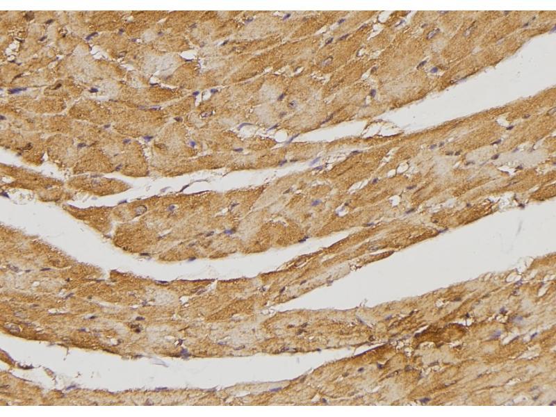 Image no. 3 for anti-TBC1 Domain Family, Member 4 (TBC1D4) (pSer341) antibody (ABIN6269677)