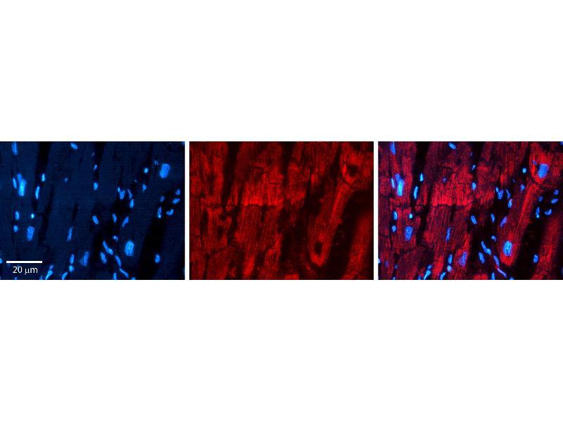 Immunohistochemistry (IHC) image for anti-Prohibitin 2 (PHB2) (C-Term) antibody (ABIN2783329)