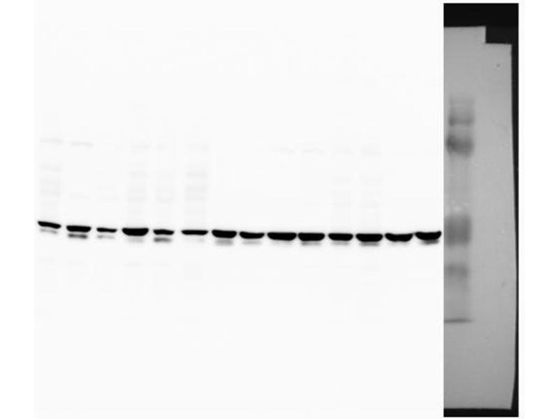 Western Blotting (WB) image for anti-Suppressor of Cytokine Signaling 1 (SOCS1) (Middle Region) antibody (ABIN2777165)