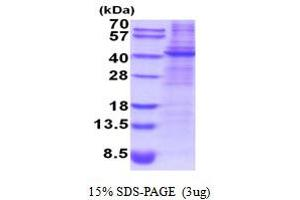 Image no. 1 for Decorin (DCN) (AA 31-359) protein (His tag) (ABIN5854193)