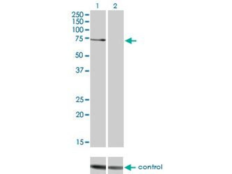 Western Blotting (WB) image for anti-PKC zeta antibody (Protein Kinase C, zeta) (AA 165-255) (ABIN562397)