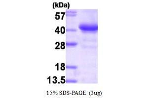 Image no. 1 for Glycogenin 1 (GYG1) (AA 1-333) protein (HIS-T7) (ABIN667121)