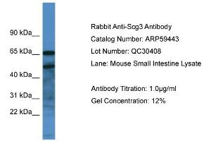 Image no. 1 for anti-Secretogranin III (SCG3) (C-Term) antibody (ABIN2788069)
