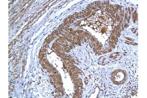 Immunohistochemistry (IHC) image for anti-Apoptosis-Inducing Factor, Mitochondrion-Associated, 1 (AIFM1) (AA 130-180) antibody (ABIN724010)