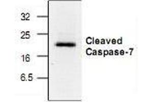 Western Blotting (WB) image for anti-Caspase 7 antibody (Caspase 7, Apoptosis-Related Cysteine Peptidase) (active) (ABIN222955)