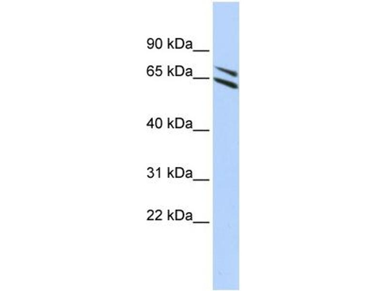 Western Blotting (WB) image for anti-Flavin Containing Monooxygenase 4 (FMO4) (N-Term) antibody (ABIN502600)