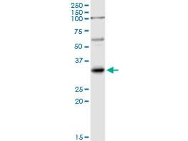 Western Blotting (WB) image for anti-Interleukin 1, beta (IL1B) (AA 1-269), (full length) antibody (ABIN516995)