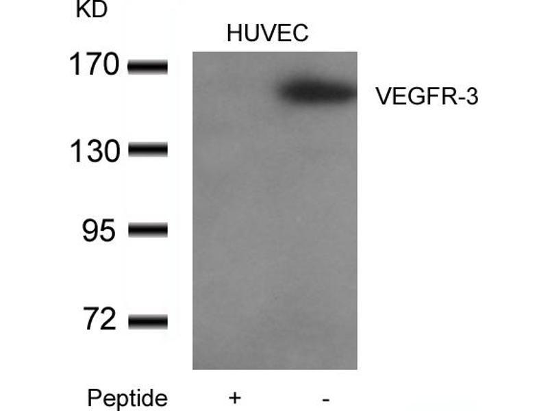 Image no. 3 for anti-Fms-Related Tyrosine Kinase 4 (FLT4) (AA 1279-1283) antibody (ABIN6267804)