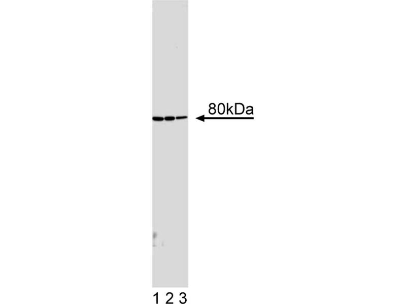 Western Blotting (WB) image for anti-Immunoglobulin kappa Variable 1-27 (IGKV1-27) antibody (ABIN967297)