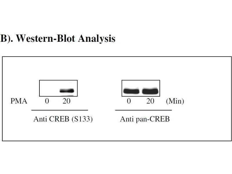 cAMP Responsive Element Binding Protein 1 (CREB1) ELISA Kit (4)