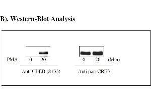 Image no. 4 for cAMP Responsive Element Binding Protein 1 (CREB1) ELISA Kit (ABIN1981714)