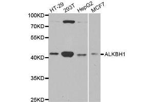 Image no. 1 for anti-AlkB, Alkylation Repair Homolog 1 (E. Coli) (ALKBH) antibody (ABIN6136795)