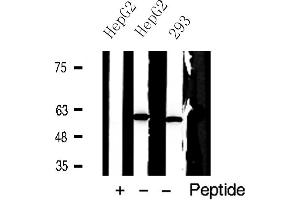 Image no. 1 for anti-PKM1/2 (AA 36-40) antibody (ABIN6267730)