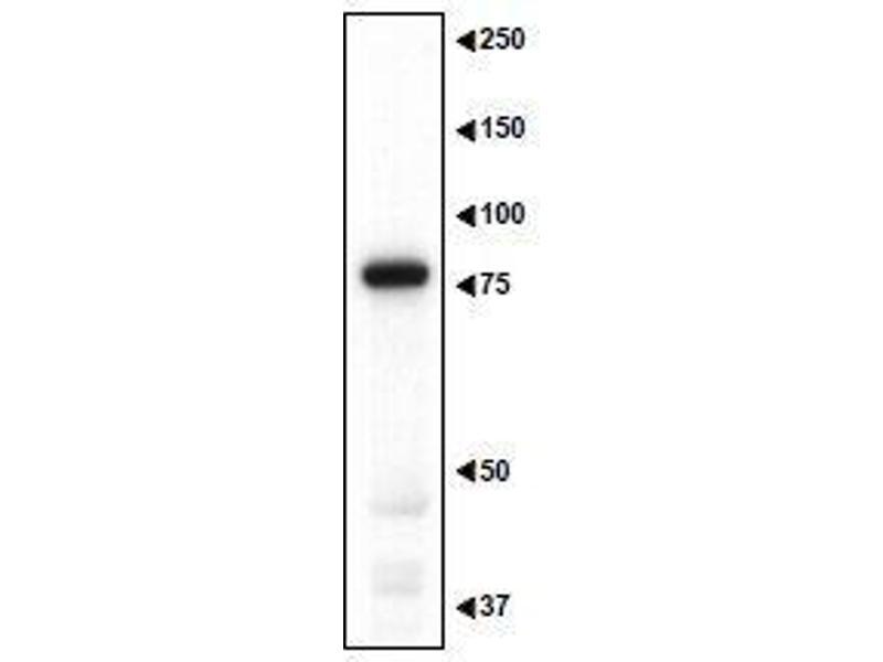 Image no. 4 for anti-Melanoma Antigen Family D, 1 (MAGED1) (AA 1-775) antibody (ABIN2452045)