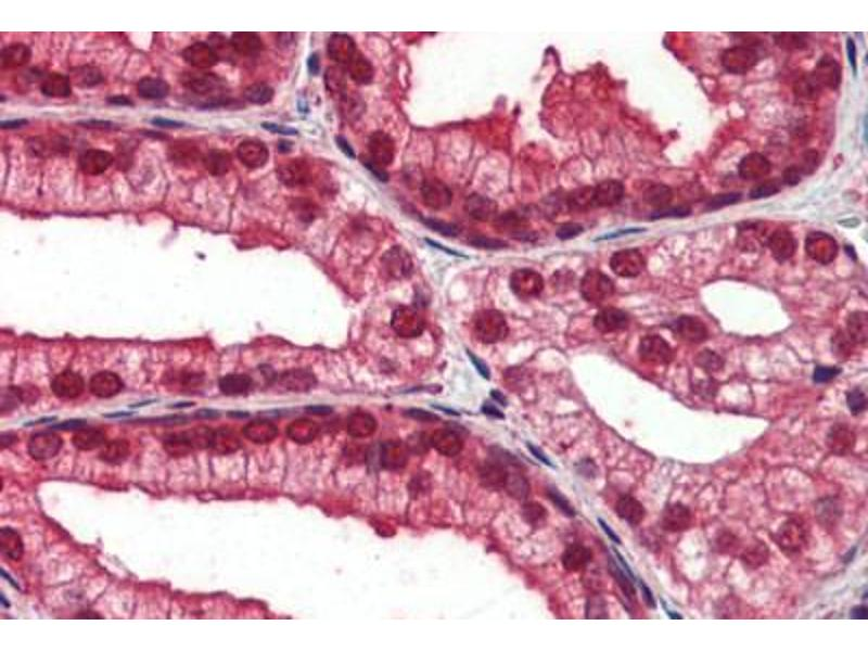 Immunohistochemistry (Paraffin-embedded Sections) (IHC (p)) image for anti-Notch 4 (NOTCH4) (AA 371-420) antibody (ABIN462184)