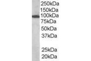 image for anti-Vav 3 Oncogene (VAV3) (Internal Region) antibody (ABIN185278)