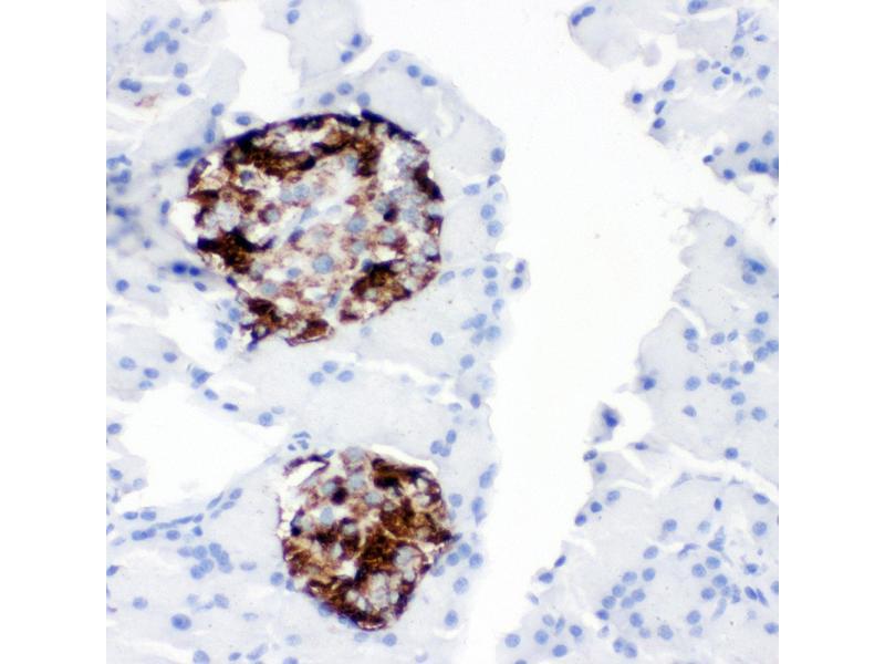 Immunohistochemistry (IHC) image for anti-Proprotein Convertase Subtilisin/kexin Type 2 (PCSK2) (AA 110-125), (N-Term) antibody (ABIN3044078)