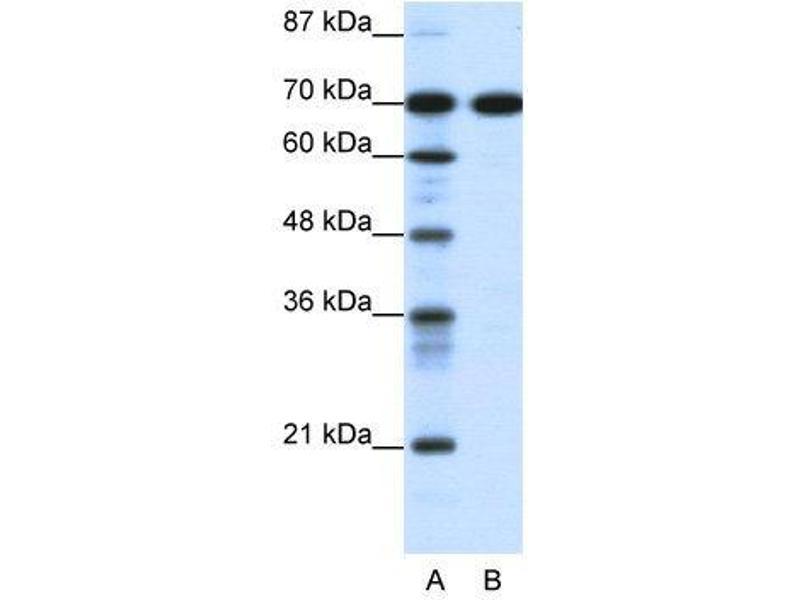 Western Blotting (WB) image for anti-RRN3 RNA Polymerase I Transcription Factor Homolog (S. Cerevisiae) (RRN3) (C-Term) antibody (ABIN183012)