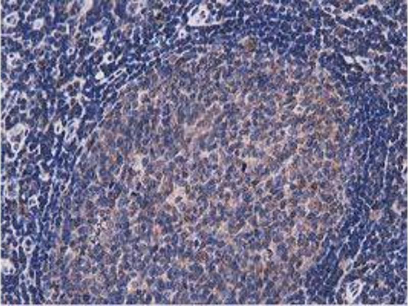 anti-NUDT6 antibody (Nudix (Nucleoside Diphosphate Linked Moiety X)-Type Motif 6)