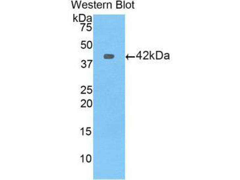 Western Blotting (WB) image for anti-Profilin 1 (PFN1) (AA 2-140) antibody (ABIN1860193)