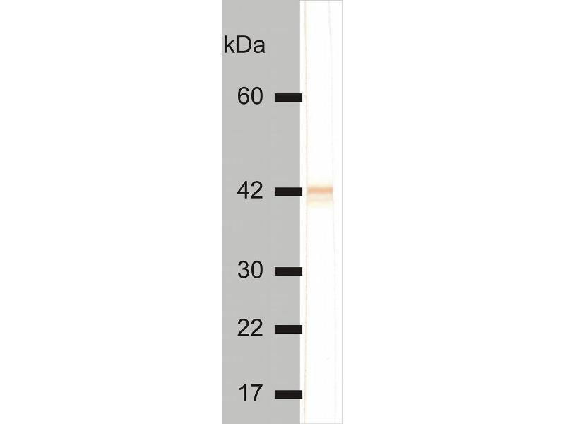 Western Blotting (WB) image for anti-Keratin 18 (KRT18) antibody (FITC) (ABIN302009)
