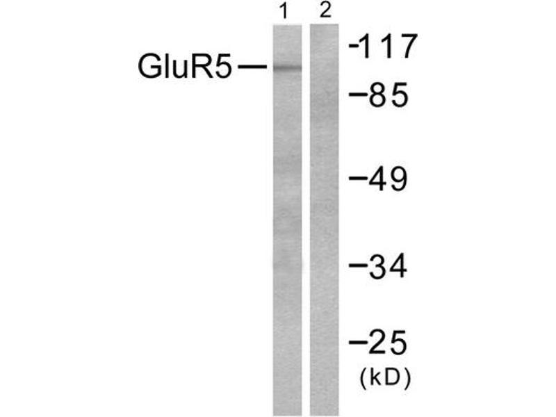 Western Blotting (WB) image for anti-Glutamate Receptor, Ionotropic, Kainate 1 (GRIK1) (N-Term) antibody (ABIN1848574)