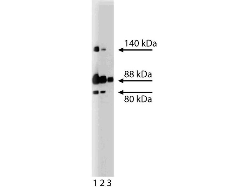 Western Blotting (WB) image for anti-Enabled Homolog (Drosophila) (ENAH) (AA 415-541) antibody (ABIN968115)