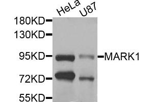 Image no. 2 for anti-MAP/microtubule Affinity-Regulating Kinase 1 (MARK1) antibody (ABIN6571756)