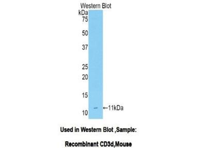 Western Blotting (WB) image for anti-CD3d Molecule, delta (CD3-TCR Complex) (CD3D) (AA 22-104) antibody (ABIN1175136)