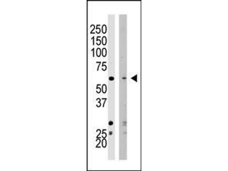 Western Blotting (WB) image for anti-SETD8 antibody (SET Domain Containing (Lysine Methyltransferase) 8) (AA 25-53) (ABIN387992)