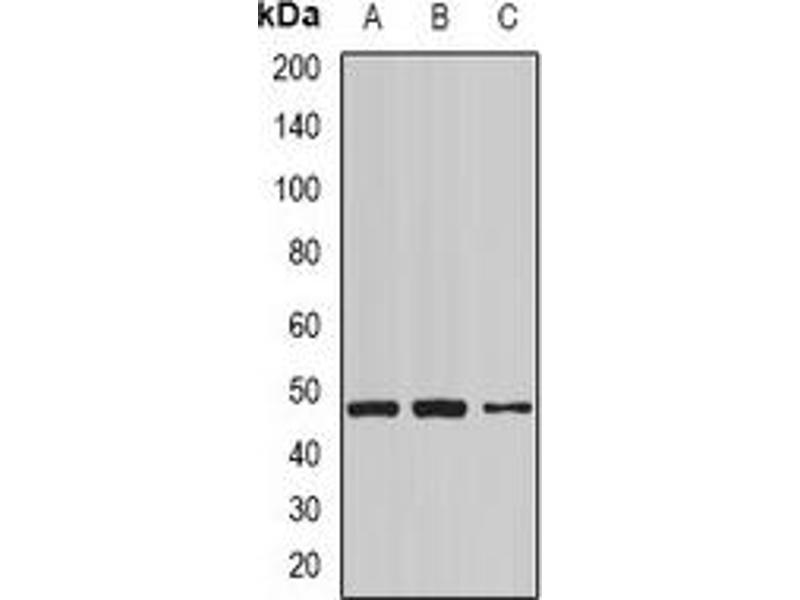 Western Blotting (WB) image for anti-Cytoplasmic Protein NCK1 antibody (NCK Adaptor Protein 1) (ABIN3197734)
