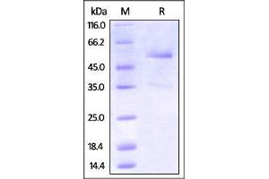 Image no. 1 for Tumor Necrosis Factor Receptor Superfamily, Member 25 (TNFRSF25) (AA 20-203) protein (Fc Tag) (ABIN2870800)
