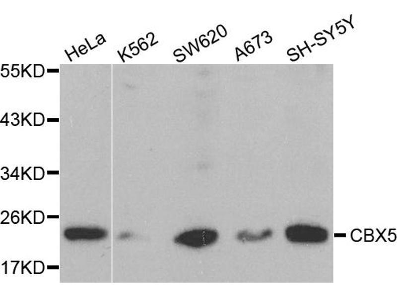 Image no. 2 for anti-Chromobox Homolog 5 (CBX5) antibody (ABIN6567042)