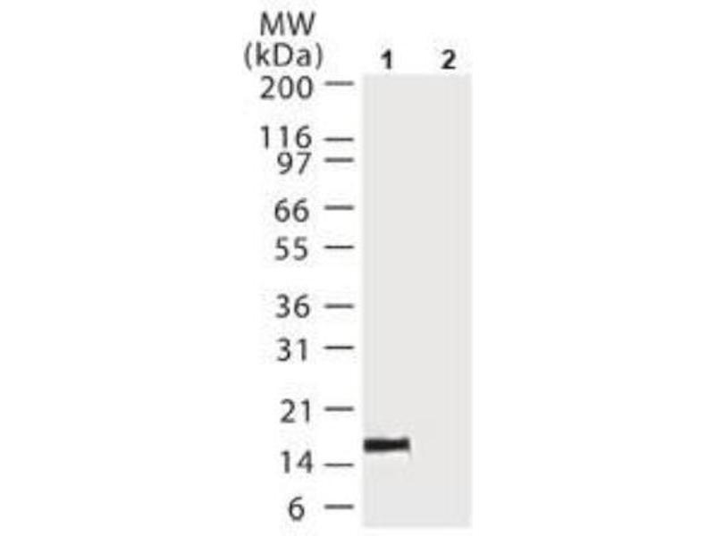 Immunoprecipitation (IP) image for anti-Cytochrome C, Somatic (CYCS) antibody (ABIN4301951)