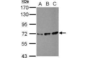 Image no. 2 for anti-Peptidylprolyl Isomerase (Cyclophilin)-Like 4 (PPIL4) (AA 1-172) antibody (ABIN1500366)