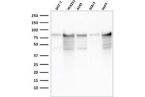 Image no. 1 for anti-Minichromosome Maintenance Complex Component 7 (MCM7) (AA 195-319) antibody (ABIN6940023)
