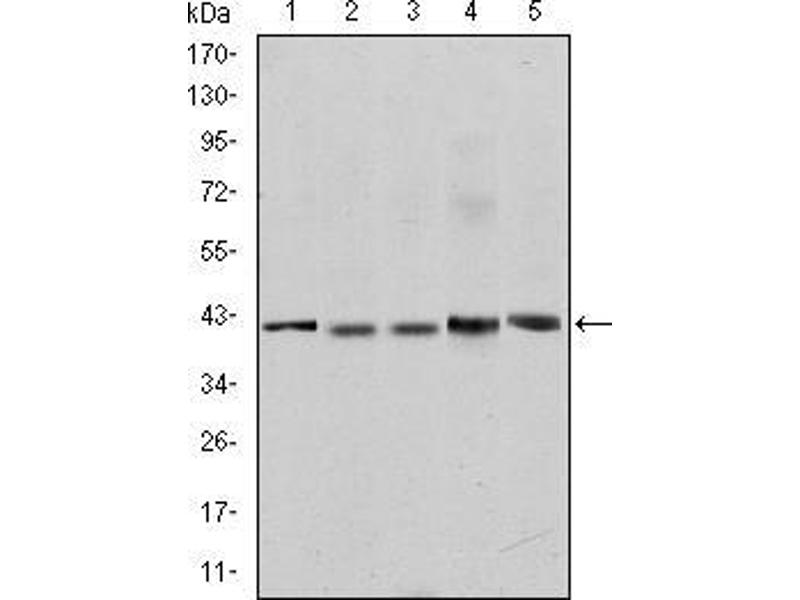 Western Blotting (WB) image for anti-p65 antibody (Nuclear Factor-KB P65) (ABIN968997)
