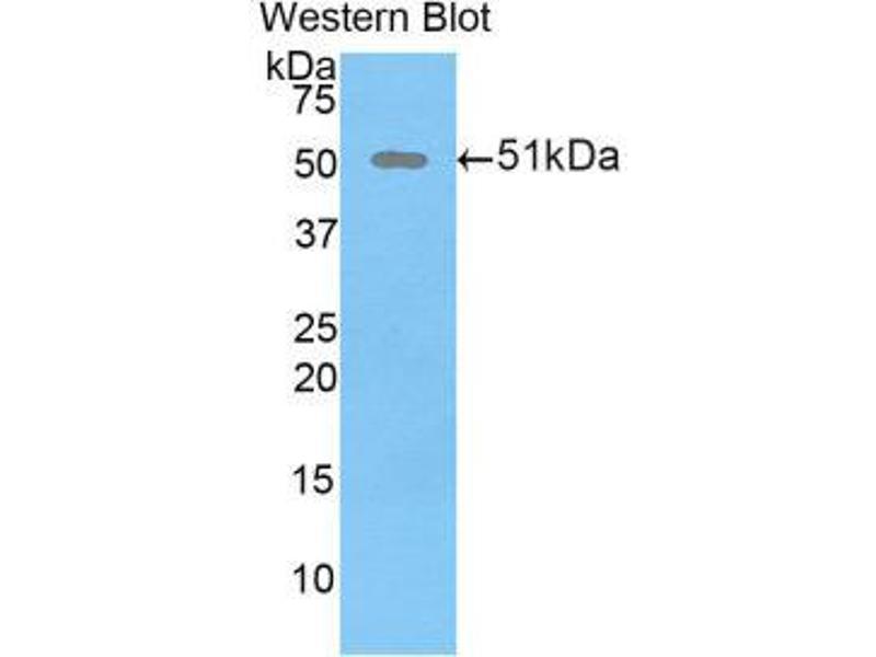 Western Blotting (WB) image for anti-Dickkopf Homolog 1 (Xenopus Laevis) (DKK1) (AA 36-260) antibody (ABIN1858645)