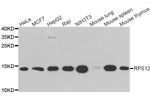 Image no. 1 for anti-Ribosomal Protein S12 (RPS12) antibody (ABIN6147195)