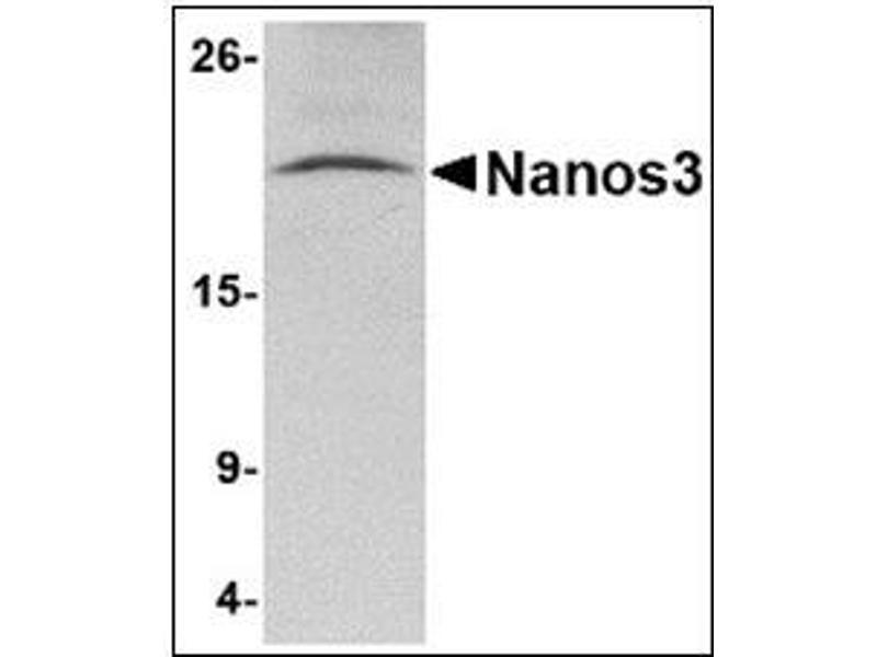 Western Blotting (WB) image for anti-Nanos Homolog 3 (NANOS3) (C-Term) antibody (ABIN783156)
