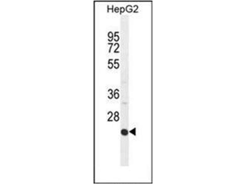 Western Blotting (WB) image for anti-ICAM2 antibody (Intercellular Adhesion Molecule 2) (AA 191-218) (ABIN951145)