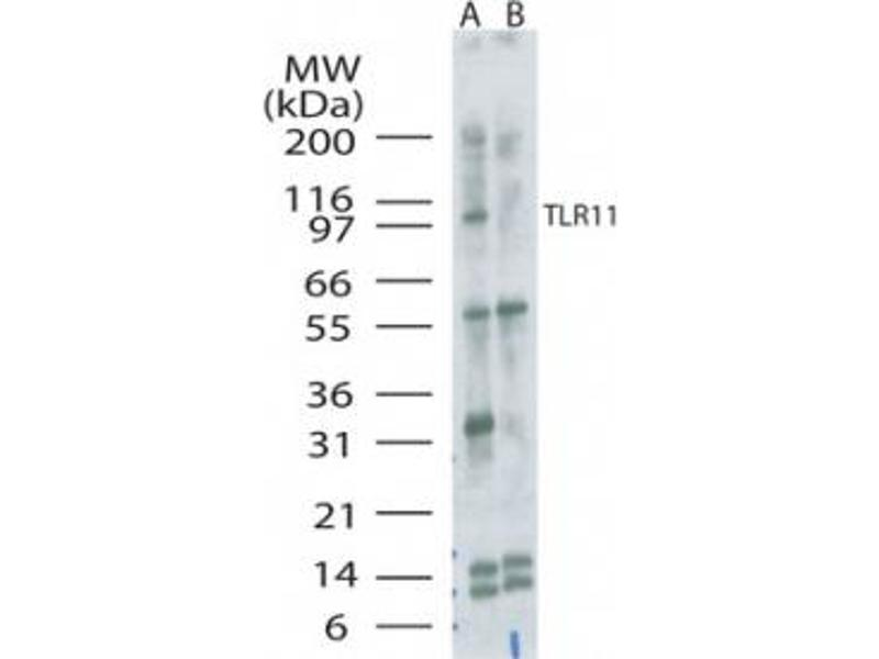Image no. 1 for anti-Toll-Like Receptor 11 (Tlr11) (AA 900-950) antibody (ABIN301711)