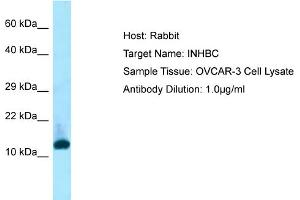 Image no. 1 for anti-Inhibin, beta C (INHBC) (N-Term) antibody (ABIN2790008)