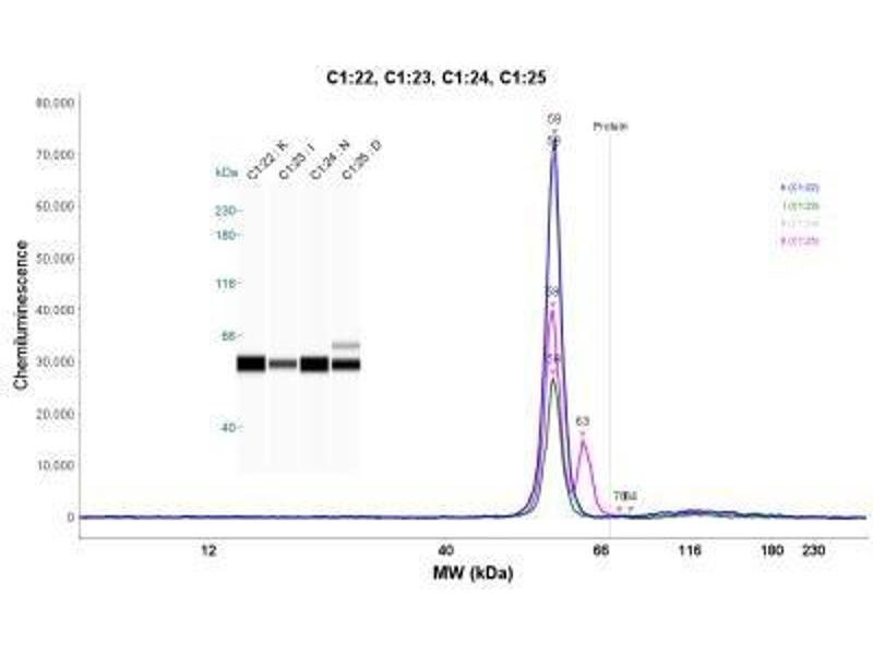 Simple Western (SimWes) image for anti-Aldehyde Dehydrogenase 1 Family, Member A2 (ALDH1A2) antibody (ABIN4279209)