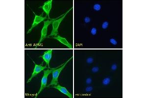 Image no. 1 for anti-Apoptosis-Inducing Factor, Mitochondrion-Associated, 1 (AIFM1) (AA 183-195) antibody (ABIN2613375)