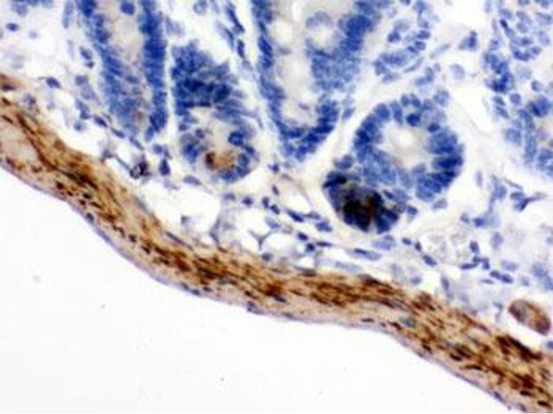 Image no. 2 for anti-Monoamine Oxidase B (MAOB) antibody (ABIN4951665)