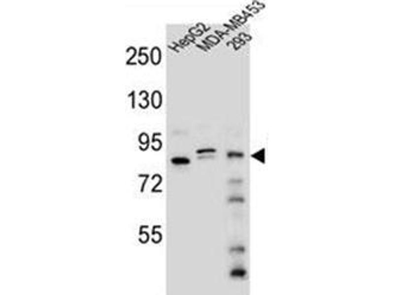 Western Blotting (WB) image for anti-KAT8 Regulatory NSL Complex Subunit 3 (KANSL3) (AA 401-431), (Middle Region) antibody (ABIN953055)